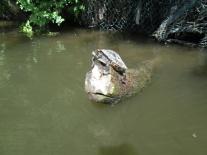 Vermutlich eine Gelbwangenschildkröte.