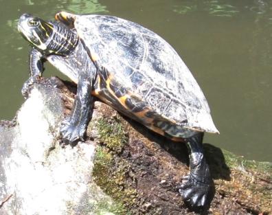 Schildkröte mit höherer Auflösung