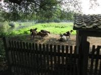 ... wo es nach Schaf duftet