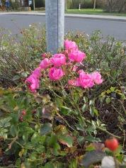 Letzte Blüten dieses oder erste nächsten Jahres?