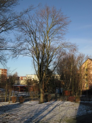 Ahorn im Winter