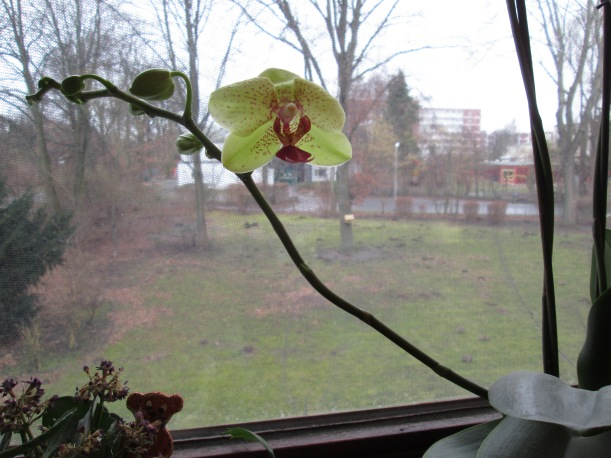 160220_065_Orchidee_LS