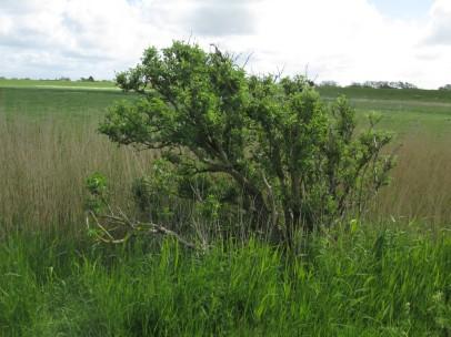 Küstenbaum ...