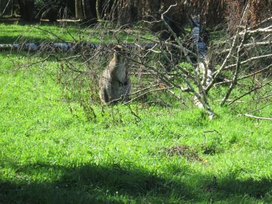 kleines Känguruh im Versteck