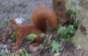 Eichhörnchen mit Walnus