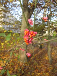 Unbekannte Blüten-Beeren - Gewöhnlicher Spindelstrauch?
