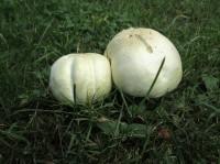 Champignons im Garten, ...