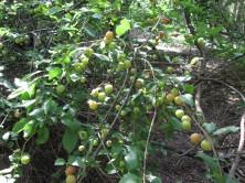 Diesen Obstbaum fand ich beim Weststadtputz im Wald - Was für eine Obstsorte auch immer ...
