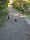 Mir begegnen viele Enten mit ganz vielen Küken.