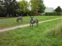 Eselidylle in Rautheim